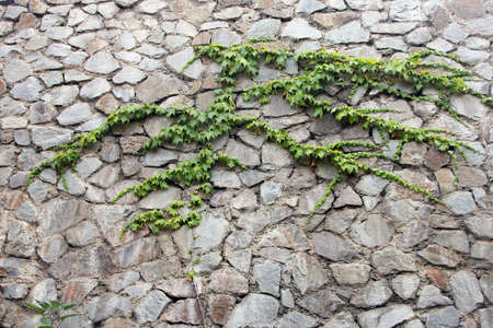 dilapidated: stone masonry wall from old dilapidated shabby rubble with green climbing plant foreground closeup in Crimea