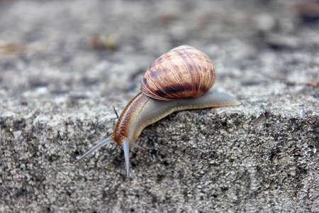 despacio: marrón caracol grande larga ronda concha con rayas y con cuernos largos que se arrastran por el borde de piedra de cerca