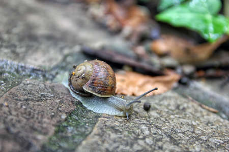 freshwater snails: brown snail round shell with stripes and with long horns crawling on old grey stone closeup
