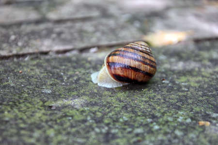 freshwater snails: brown snail round shell with stripes crawling on old grey stone closeup