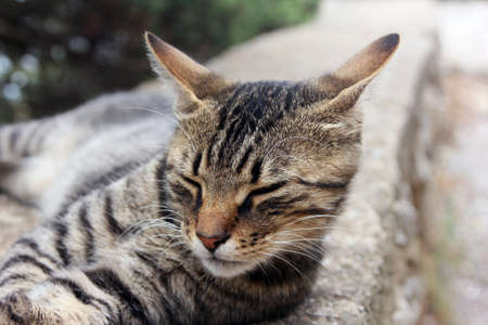 parapet: beautiful crimean non-pedigree tabby eared cat lying on stone parapet closed his eyes and pricked ears closeup