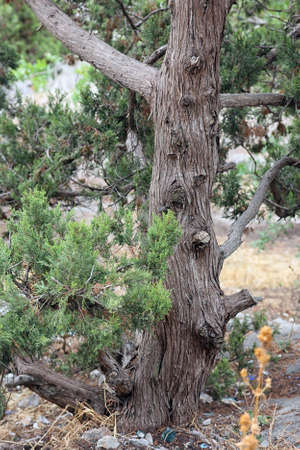 timberland: trunk with bark of juniperus communis the common juniper tree in Crimea mountains Stock Photo