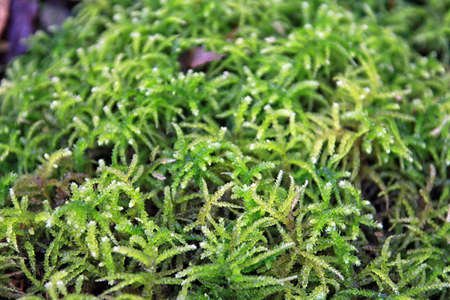swampy: beautiful green forest Sphagnum moss closeup Stock Photo