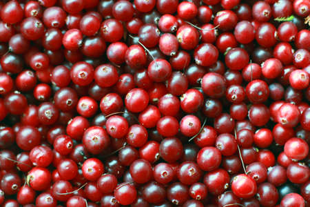 collected: texture of natural ripe red cranberries collected in the swamp closeup