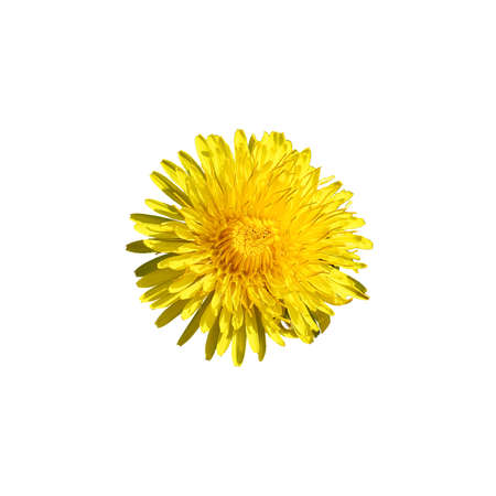 undemanding: beautiful wild yellow bud flower dandelions with petals closeup isolated on white background