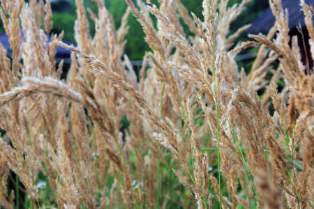 dry lush wild grass in the village in september closeup