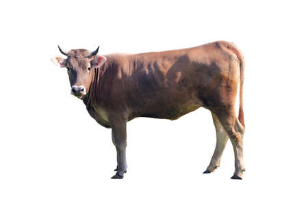 brown cow with horns looking at us isolated on white background