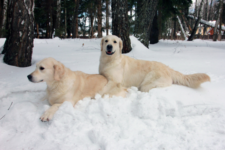 two best dogs golden retrievers playing on each other in the snow on winter
