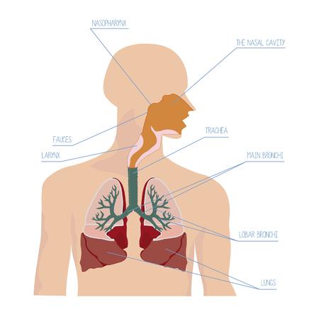 epiglottis: Human respiratory system in vector Illustration