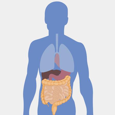 bowels: Human intestines, detailed medical illustration