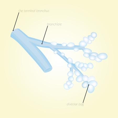 diffusion: The terminal bronchus, bronchiole, alveoli, alveolar bag. Diffusion of O2 and CO2 through the alveolar wall