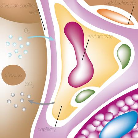 alveolos: La perfusión de sangre a través de los capilares de los pulmones, la pared alveolar-capilar, los alvéolos, el oxígeno, el dióxido de carbono, endoteliocito, capilar eritrocitos.