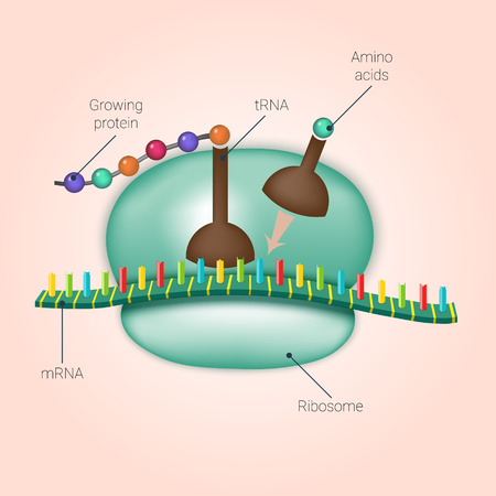 Biosynthesis of protein on ribosome in vector Illustration