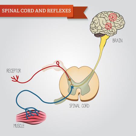 sistema nervioso central: infograf�a de la m�dula espinal y los reflejos. Sistema nervioso central.