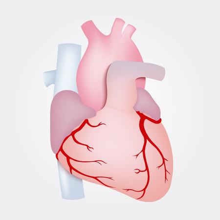 vein valve: Human heart anatomy isolated on white background. Illustration
