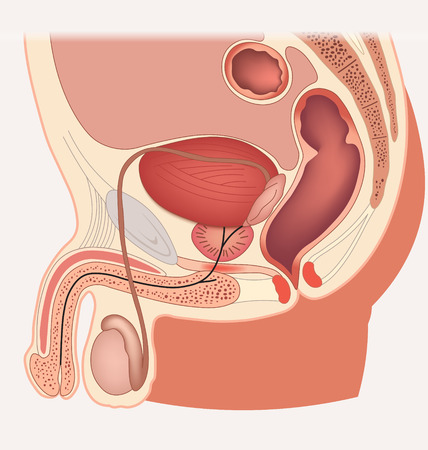 Male reproductive system median section Vectores