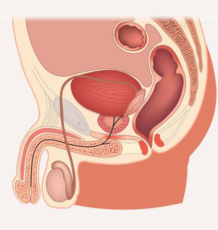 Sistema reproductor masculino sección media Foto de archivo - 53717695