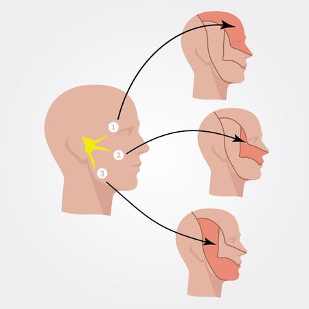 三叉神経。人間の頭。フラットの図