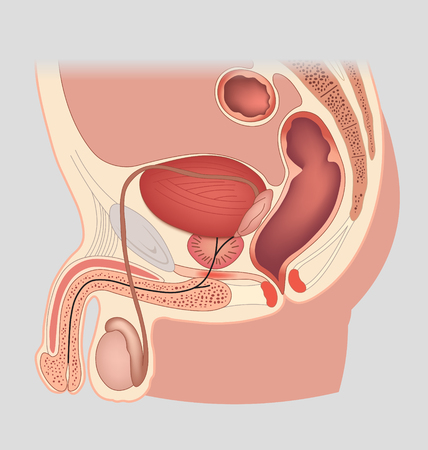 man symbol: Man reproductive system median section. Male genital organs. Vector illustration