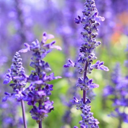 Lavender field, France  Stock Photo