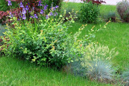Spring garden, blossom iris