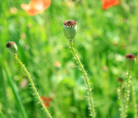 Pods of poppy on the meadow