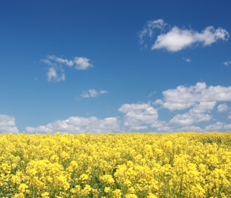 Rape field and blue sky  Spring  Germany  Stock Photo
