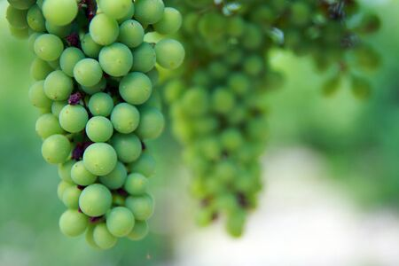 Beautiful young grapes  July  White grapes on the branch close-up  Stock Photo