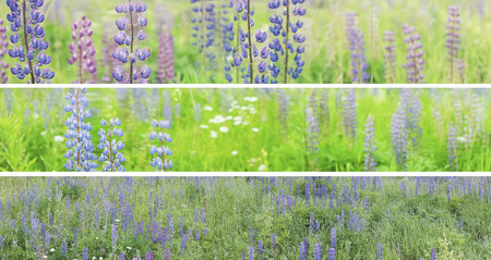 panoramas: Three panoramas of a summer field, garden. 1 and 2 image have selective focus on left side. Lupine weadow with purple and blue flowers.