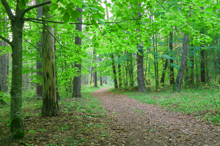covert: Country road in beautifull  forest, covert. Nature, trees in forest.