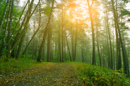Beautiful nature, sunrise in forest after rain. Country road in beautifull foggy forest.