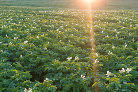 Potato field with blooming flowers. Green field of potatoes.