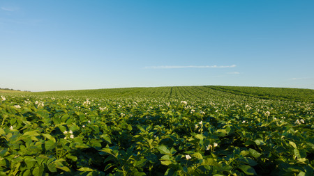 Potato field and sky at beautiful day. Green field of potatoes. Stock Photo