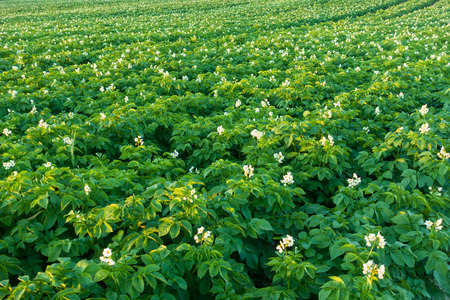 Potato field with blooming flowers. Green field of potatoes.  Stock Photo