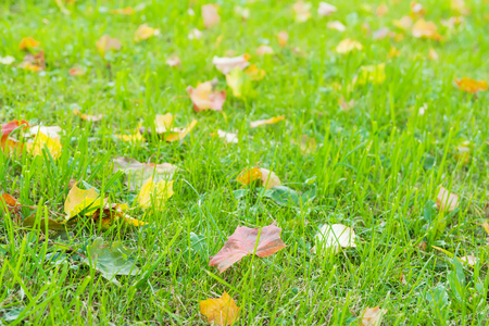 Colourful fallen leaves on grass. Maple leaves in beautiful autumn colours. Stock Photo