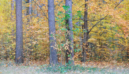Autumn in forest. Nature, trees with colorful leaves.