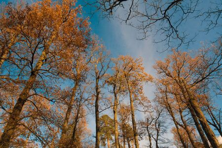 Beautiful autumn trees with golden leaves against sky. High trees with golden leaves against sky.