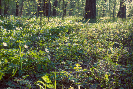 Beautiful spring forest and snowdrops, glade. Reklamní fotografie