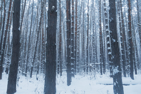 Beautiful winter forest, trees in winter forest. Sweden.