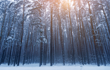 Beautiful winter forest, landscape, trees in winter forest. Cana
