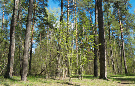 Beautiful forest at sunny day. Nature, spring landscape. Zdjęcie Seryjne