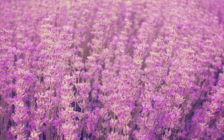 Beauitful lavender field, Provence France