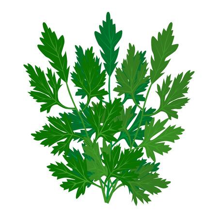 icona di prezzemolo su sfondo bianco. Vector foglie fresche di prezzemolo. Cilantro Herb. condimento aromatico popolare in Messico, latino, cinese, cucina asiatica. Seed è chiamato coriandolo. Vedi altre erbe e spezie in questa serie. Vettoriali