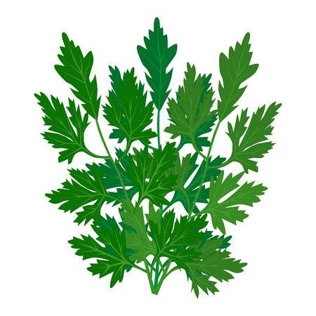 Parsley icon on white background. Vector fresh leaves of parsley. Cilantro Herb. Popular aromatic seasoning in Mexican, Latin, Chinese, Asian cooking. Seed is called Coriander. See other herbs and spices in this series. Illustration