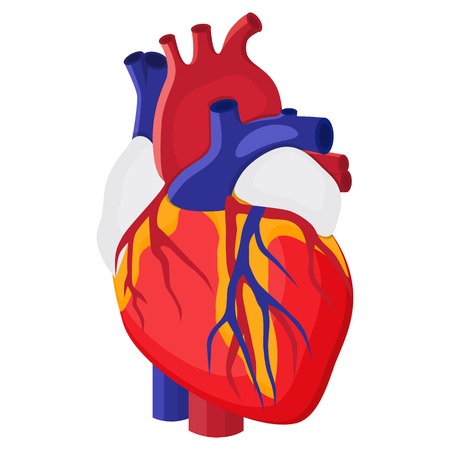 Human heart. Internal organ. Vector illustration in flat style