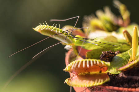 early morning: Venus Flytrap hunted cellar spider at early morning