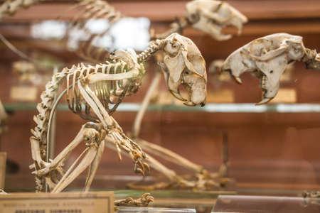 paleontologist: Skeletons in paleonthology gallery in Paris natural history museum, France