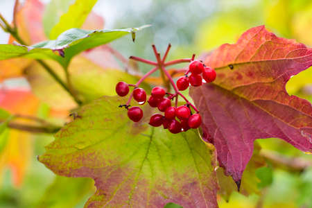 guelder rose berry: Golden sunny autumn in Luxembourg