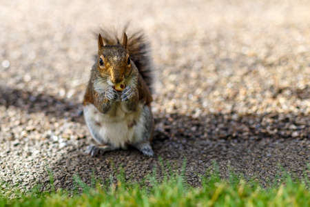Squirrel eating nut in autumn Stock Photo