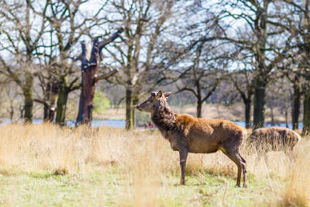 Deer in spring in Richmond park, London